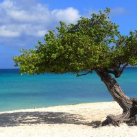 A fofoti tree on Eagle Beach in Aruba