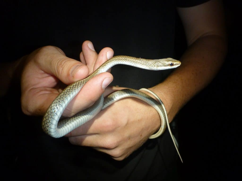 Barbour's Tropical Racer snake as found on the island of Grenada