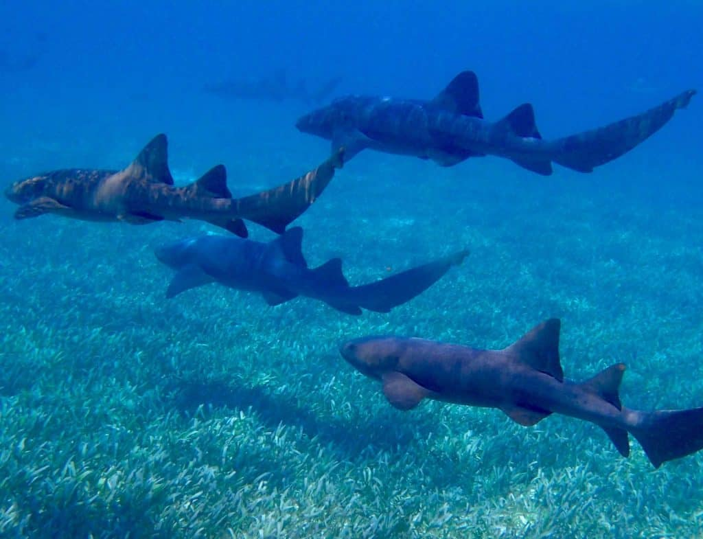 nurse sharks swimming in a group