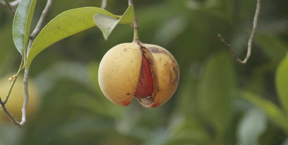 the nutmeg fruit hanging on a tree