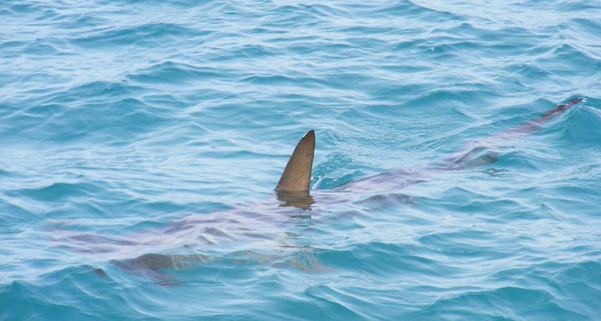 A shark in the water with his fin peeking out of the water.