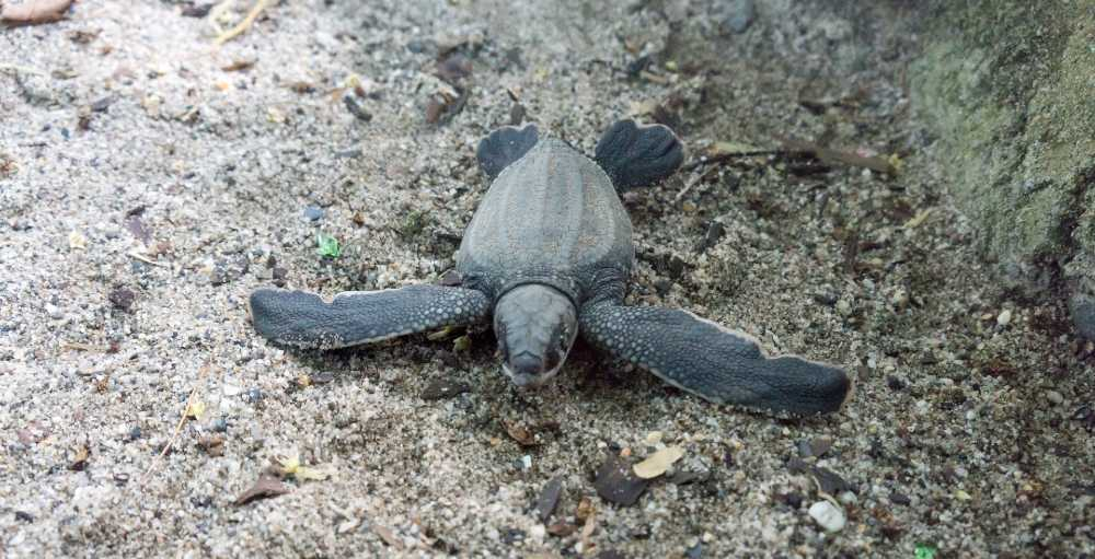 A leatherback turtle hatching.