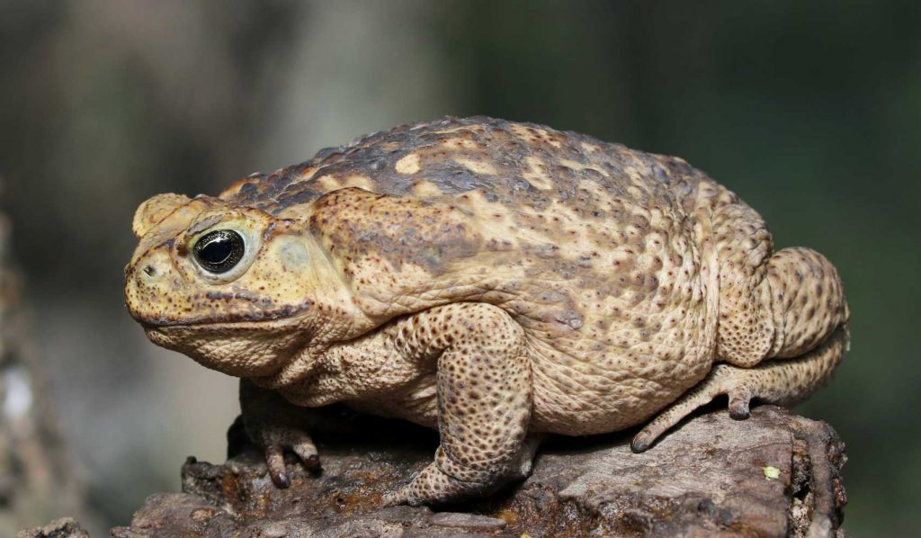 cane toad also known as giant toad