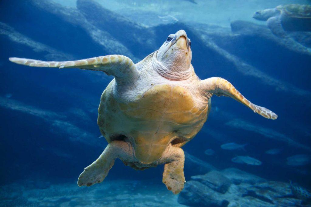 A leatherback sea turtle swimming.